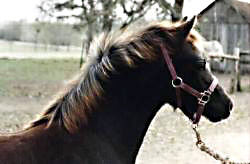 Bristol Super Son posing in halter showing his off-side profile of head and neck