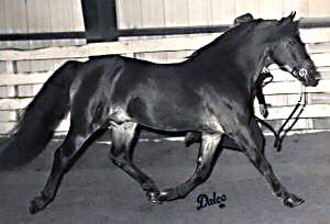 *Coed Coch Ballog showing his off-side while trotting at the Louisiana State Fair