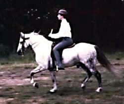 GlanNant Tango ridden saddleseat showing his full near-side profile