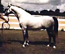 GlanNant Tango posing in-hand showing his near-side full profile
