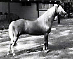Hollyrun Sunray posing in-hand showing his full off-side profile