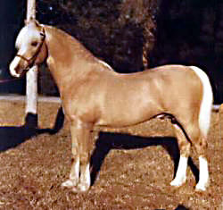 Hollyrun Sunray posing in-hand showing his near-side full profile