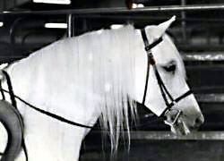 Lithgow Wishnik under saddle in English tack showing head and neck from off-side