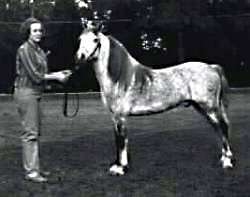 Pickwick Star shown in-hand full-profile near-side with handler
